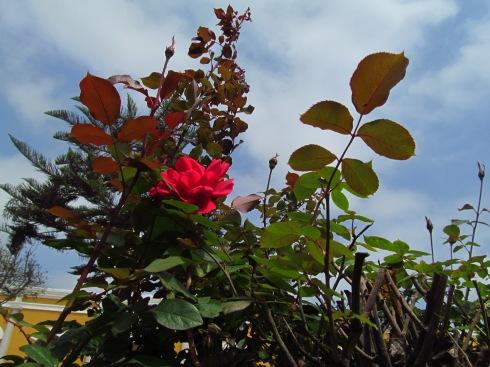 Rosa al amanecer